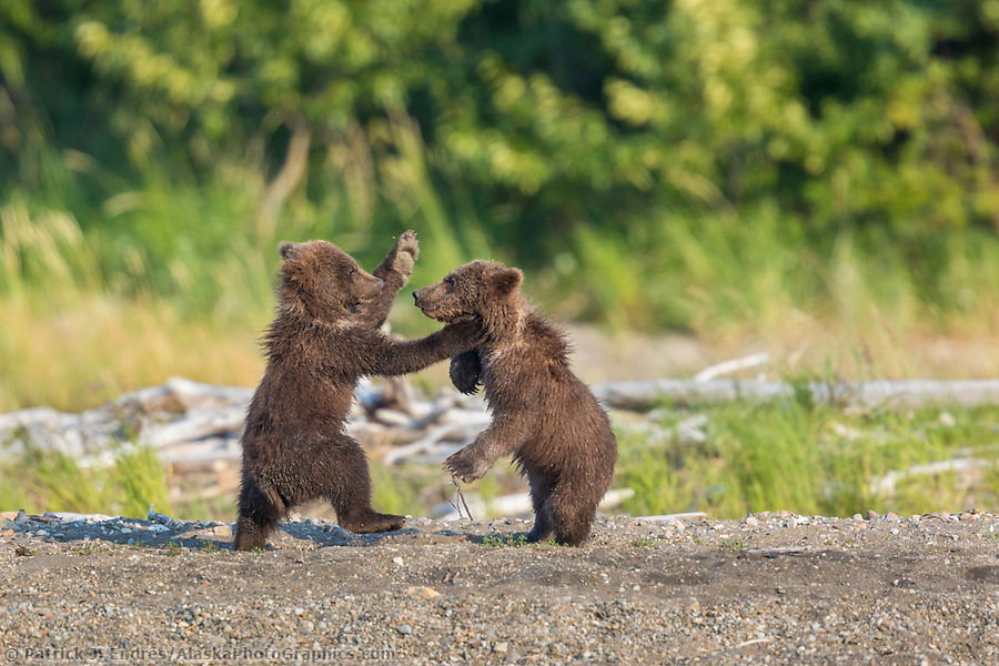 Two small brown bear spring cubs playfight in Katmai National Park, Alaska (Patrick J Endres / AlaskaPhotoGraphics.com)