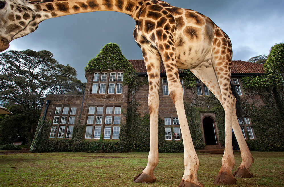 Finalist, BBC Wildlife Photographer of the Year 2011. A Rothschild Giraffe frames Giraffe Manor (Robin Moore)