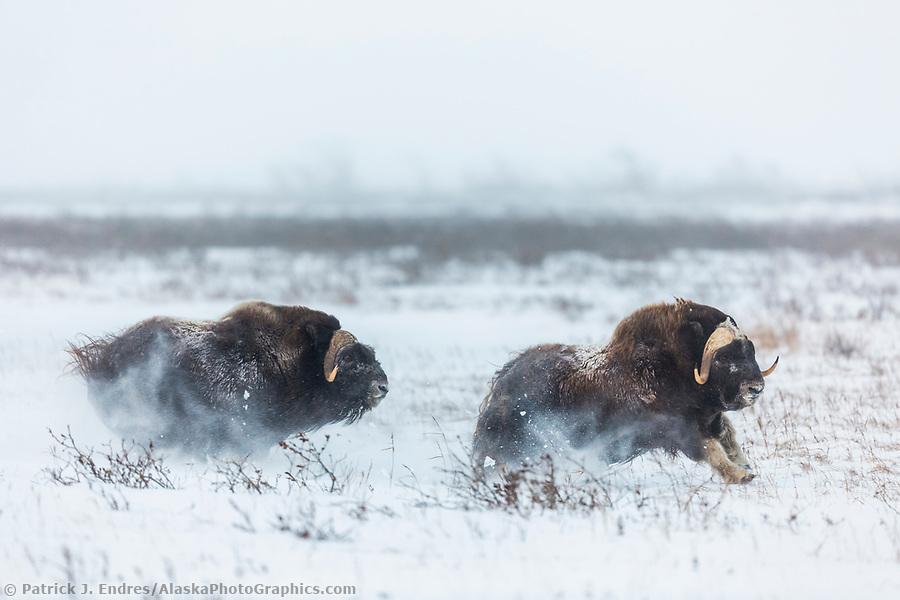 Two muskox spar on the snowy Arctic tundra, Arctic North Slope, Alaska. (Patrick J Endres / AlaskaPhotoGraphics.com)