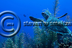 Green Sea Turtle, Chelonia mydas, (Linnaeus, 1758), Grand Cayman (Steven W Smeltzer)