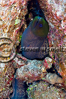 Undulated Moray, Gymnothorax undulatus, Maui Hawaii (Steven Smeltzer)