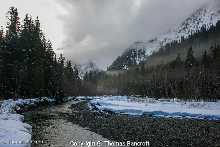 The sun started to peak through the clouds as it continued to rain lightly.  As I was looking up river, an American Dipper flew into the picture and began to take a bath in the shallow water before flying up river. (G. Thomas Bancroft)