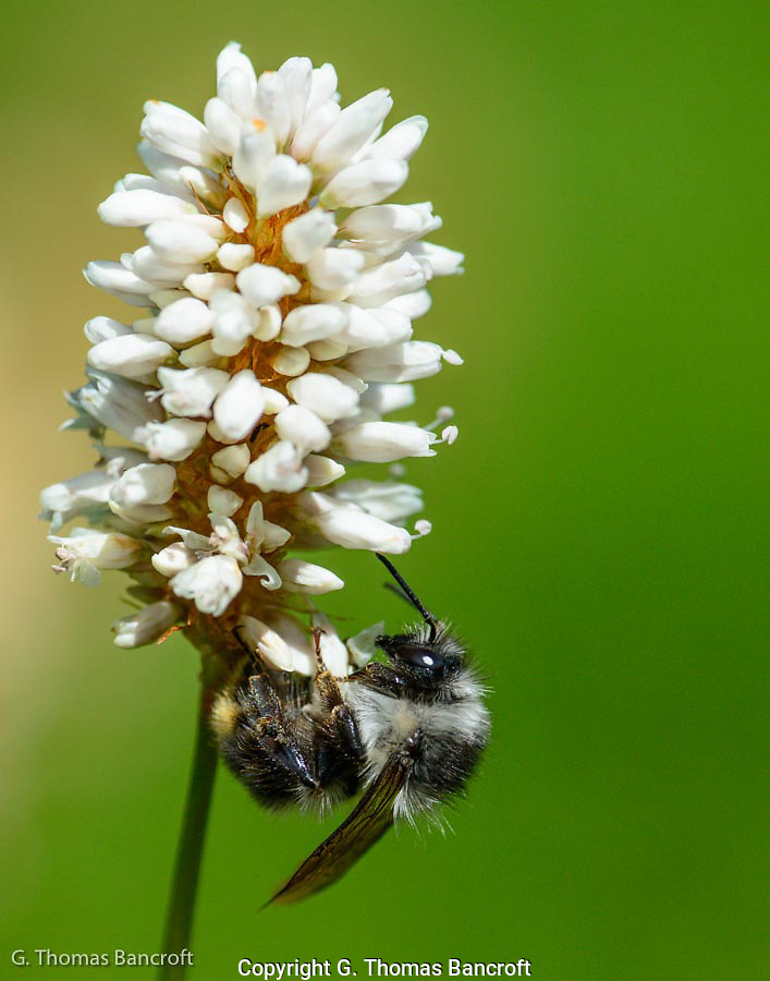 Fuzzy horned Bumblebee hangs from the bottom of a flower. (G. Thomas Bancroft)