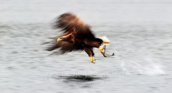 White-tailed Eagle (Haeliaeetus albicilla) in Flatanger, Norway (Ole Jørgen Liodden)