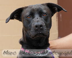 Beauty, a black female terrier / pit bull. (Marc C. Perkins)
