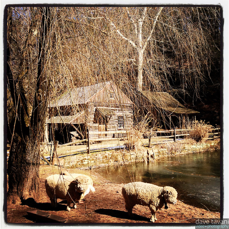 Sheep meander the grounds at the historic Cuttalossa Farm in Solebury Township on February 18, 2013. (Dave Tavani)