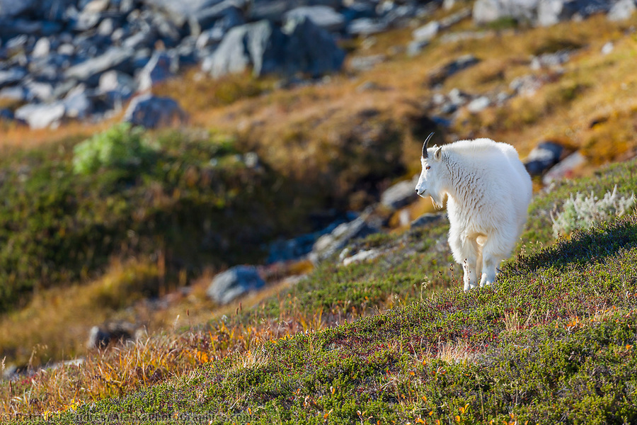 alaska wildlife photos: Mountain goat, Kenai Fjords National Park, Kenai mountains, Kenai Peninsula, southcentral, Alaska. (Patrick J. Endres / AlaskaPhotoGraphics.com)