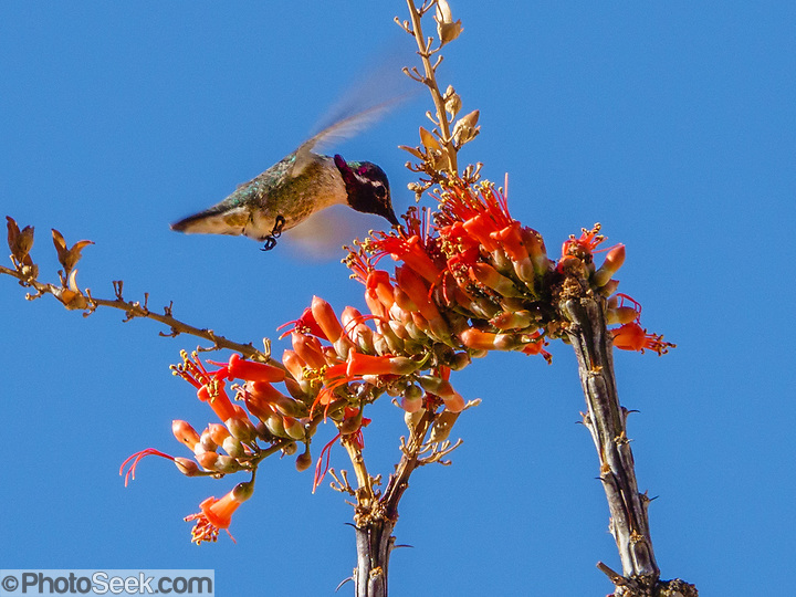 A hummingbird sucks nectar from a red ocotillo blossom. Ladder Canyon and Painted Canyon Loop Trail, Mecca Hills Wilderness, managed by BLM's Palm Springs-South Coast Field Office, near Mecca, California, USA. (© Tom Dempsey / PhotoSeek.com)