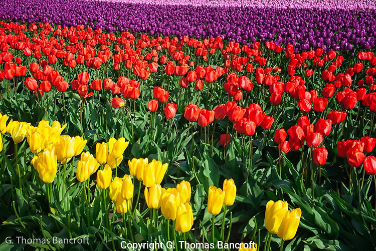 Tulip colors varied across rows.  I was fascinated by the colors and how they formed a linear design. (G. Thomas Bancroft)