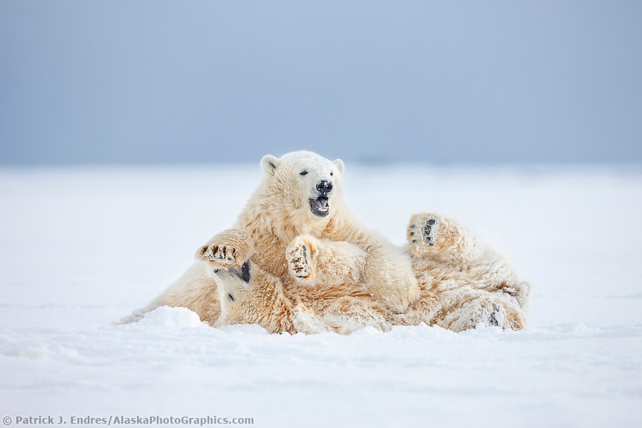 Polar bear cubs play fight on a snow covered island in the Beaufort Sea, Arctic, Alaska. (Patrick J. Endres / AlaskaPhotoGraphics.com)