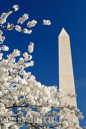 Washington Monument against blue sky and white Cherry Blossom flowers in early spring. (David Coleman)