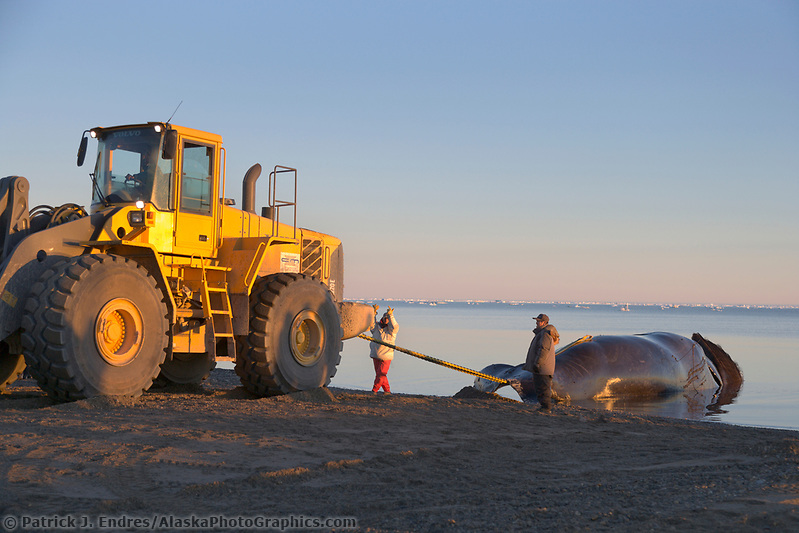 Alaska whale photos: Inupiat whale hunters return to the Village of Kaktovik on Barter Island, Beaufort Sea, Arctic Alaska, with a Bowhead whale taken under the subsistence harvest quota. (Patrick J. Endres / AlaskaPhotoGraphics.com)