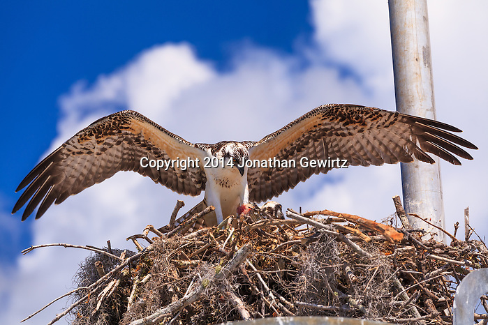 A pair of Ospreys (Pandion haliaetus), one of whom is eating a piece of fish, in their nest in the Flamingo section of Everglades National Park, Florida. WATERMARKS WILL NOT APPEAR ON PRINTS OR LICENSED IMAGES. (Jonathan Gewirtz   jonathan@gewirtz.net)