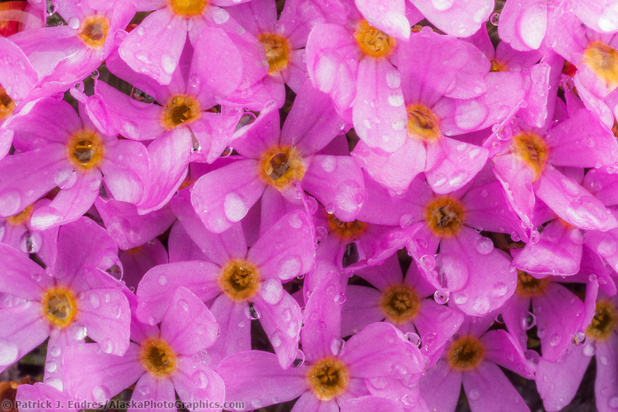 Alaska wildflower photos: Pink blossoms of Alaska dwarf primrose (Douglasia ochotensis), Puvakrat mountain, National Petroleum Reserve, Alaska. (Patrick J. Endres / AlaskaPhotoGraphics.com)