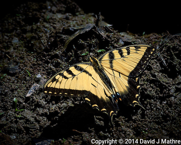 Yellow Swallowtail Butterfly Getting Some Sodium/Salt From the Mud Near a Pond at the Sourland Mountain Reserve in New Jersey. Image taken with a Nikon D3s and 80-400 mm VR II lens (ISO 1000, 400 mm, f/11, 1/2000 sec). Raw image processed with Capture One Pro, Focus Magic, Nik Define, and Photoshop CC 2014. (David J Mathre)