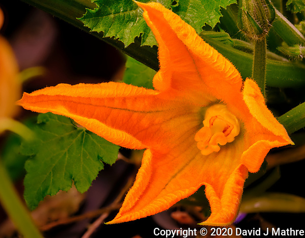 AeroGarden Farm 05-Right. Male Zucchini Flowers. Focus stacked image taken with a Fuji X-T3 camera and 80 mm f/2.8 macro lens (ISO 160, 80 mm, f/5.6, 1/60 sec). Composite of 25 images processed with Helicon Focus (method A). (DAVID J MATHRE)