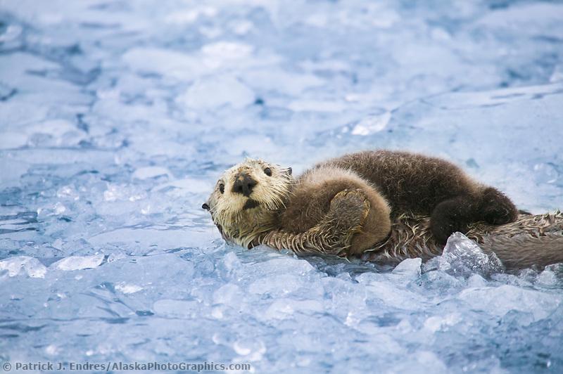 Sea otter with pup, Prince William Sound, Alaska (Patrick J. Endres / AlaskaPhotoGraphics.com)