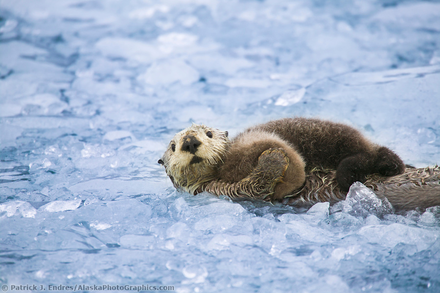 Sea otter with pup, Prince William Sound, Alaska (Patrick J. Endres / AlaskaPhotoGraphics.com)