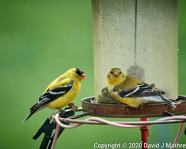 Pair of American Goldfinch. Image taken with a Nikon D5 camera and 600 mm f/4 VR lens (ISO 1600, 600 mm, f/16, 1/250 sec) (DAVID J MATHRE)