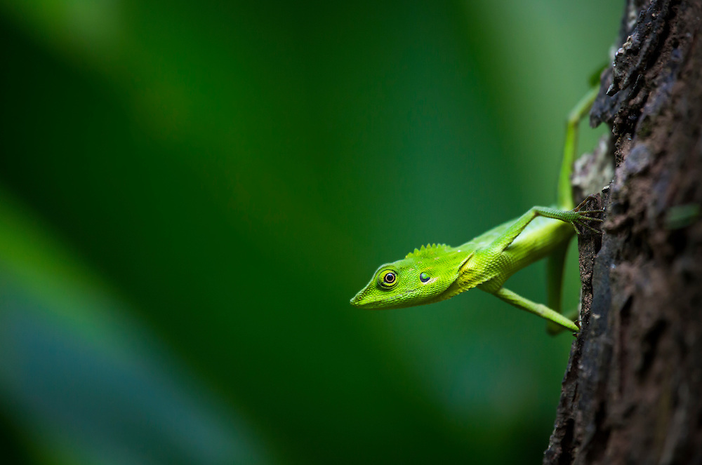 Green crested lizard, Bronchocela cristatella, in the forests of Puerto Princesa municipality, Palawan, Philippines (Robin Moore)