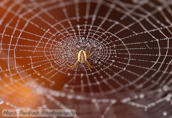 A brown and tan orb weaver spider stands on its dew covered web in front of an orange background. (Marc C. Perkins)