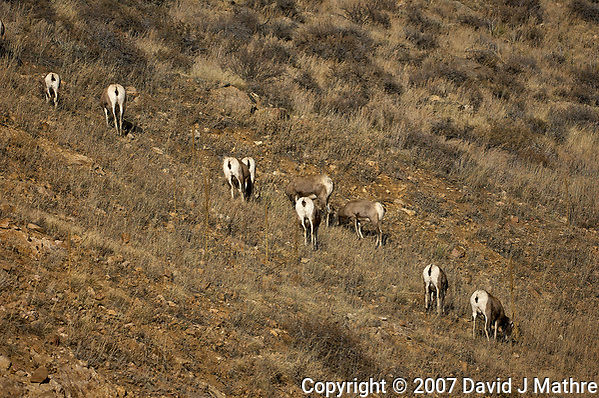 Big Horn Sheep Along Colorado 14 near Sheridan in Roosevelt National Forest. Image taken with a Nikon D2xs and 200-400 mm lens (ISO 200, 200 mm, f/8, 1/750 sec) (David J Mathre)