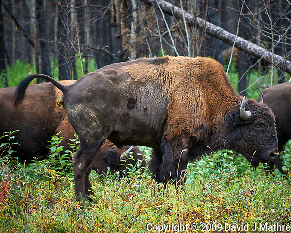 Bison alongside the Alaska-Canada Highway. Image taken with a Nikon D700 camera and 70-300 mm f/4 lens (ISO 900, 300 mm, f/5.6, 1/60 sec). (David J Mathre)