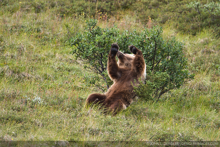A grizzly bear scratches itself against a small spruce tree as seen from the park road in the Sable Pass area of Denali National Park in Alaska. (John L. Dengler)