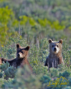 Grizzly #399 and cubs, Grand Teton National Park, Jackson Hole, Wyoming