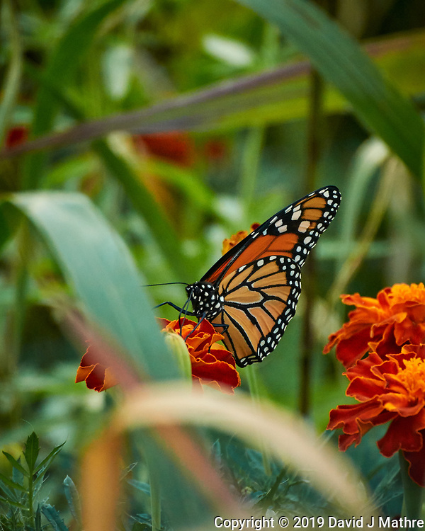 Monarch butterfly feeding on a Marigold flower. Image taken with a Nikon N1V3 camera and 70-300 mm VR lens (DAVID J MATHRE)