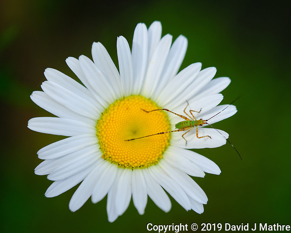 Tiny Green Grasshopper on a Daisy. Image taken with a Fuji X-H1 camera and 80 mm f/2.8 macro lens (DAVID J MATHRE)
