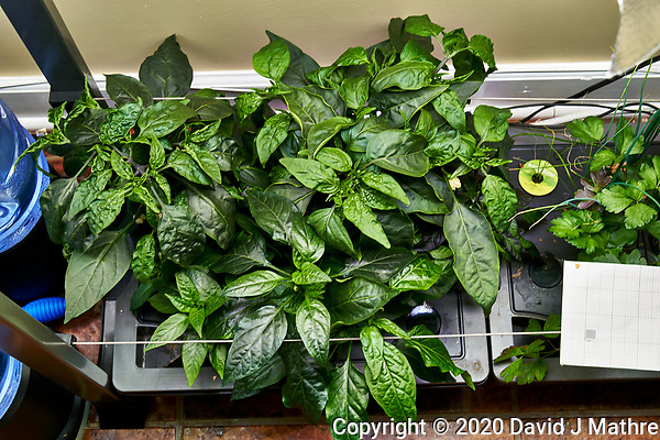 AeroGarden Farm 02, Left. Pepper Plants (122 days). Image taken with a Leica TL-2 camera and 35 mm f/1.4 lens (ISO 500, 35 mm, f/8, 1/30 sec). (DAVID J MATHRE)