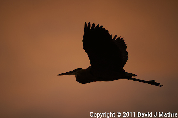 Great Blue Heron Silhouette at Dawn in Merritt Island Wildlife Refuge. Image taken with a D3s and 200-400 mm f/4 VR lens (ISO 200, 400 mm, f/4, 1/1250 sec). (David J Mathre)