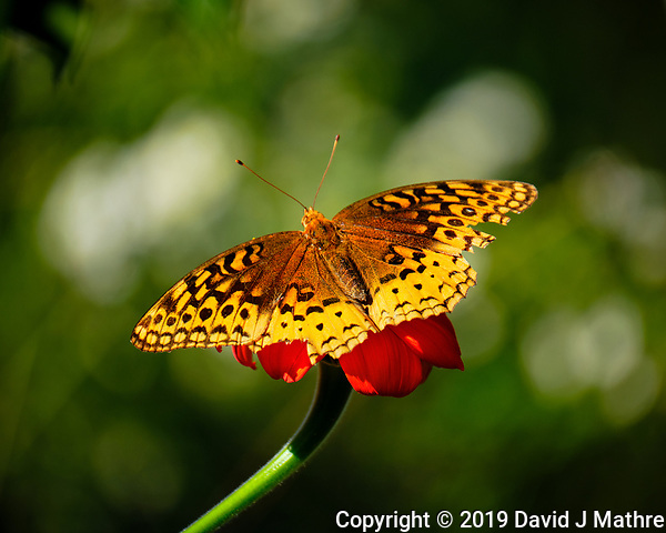 Great Spangled Fritillary Butterfly on a Mexican Sunflower. Image taken with a Fuji X-T2 camera and 100-400 mm OIS lens (ISO 200, 400 mm, f/5.6, 1/800 sec). (David J Mathre)