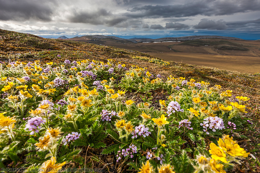 National Petroleum Reserve Alaska photos:Spring blooming glacier aven flowers on Puvakrat mountain, National Petroleum Reserve, Alaska. (Patrick J Endres / AlaskaPhotoGraphics.com)