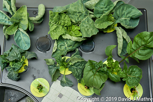 AeroGarden Farm 03 Right Tray at 28 days. R01-R03 Cauliflower; R07-R09 Kale; R10-R12 Cilantro; Image taken with a Leica TL-2 camera and 35 mm f/1.4 lens (ISO 800, 35 mm, f/16, 1/50 sec). (DAVID J MATHRE)
