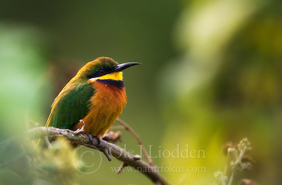 Cinnamon-chested Bee-eater (Merops oreobates), Virunga, Rwanda (Ole Jørgen Liodden)