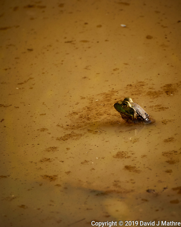 Kermit the Bullfrog. Image taken with a Nikon N1V3 camera and 70-300 mm VR lens (DAVID J MATHRE)