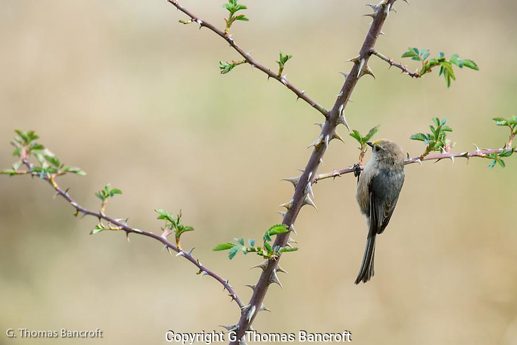 The bushtit flitted on the branch, hung upside down to search the underside of the branch.  It quickly moved along the branch, never staying in one place for more than a second or two. (G. Thomas Bancroft)