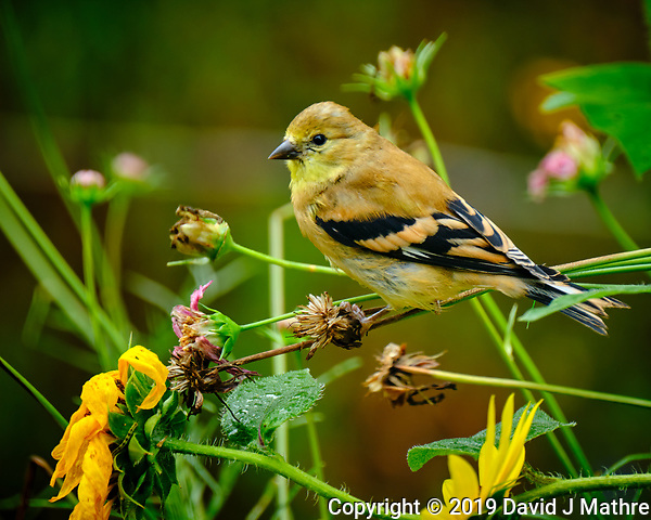 Immature Goldfinch. Image taken with a Fuji X-T2 camera and 100-400 mm OIS lens (ISO 400, 400 mm, f/5.6, 1/60 sec). (David J Mathre)