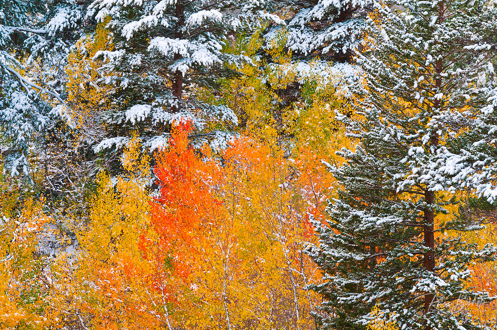 Fresh snow on fall aspens along Bishop Creek, Inyo National Forest, California