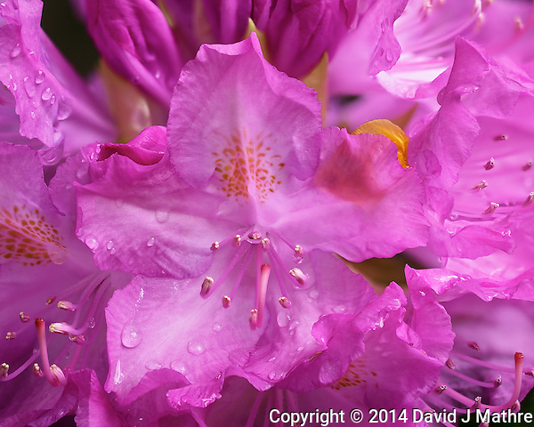 Rhododendron Blooms. Backyard Spring Nature in New Jersey. Composite of 17 stacked images taken with a Fuji X-T1 camera and 60 mm f/2.4 macro lens. Images processed using Capture One Pro 7 and Helicon Focus. (David J Mathre)