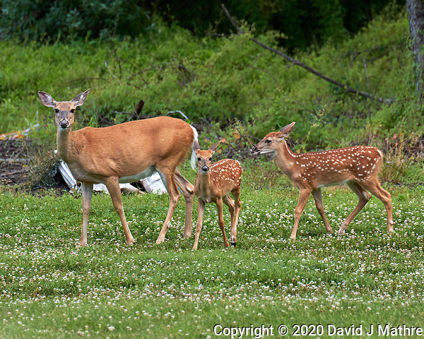 Doe with horseflies and two fawns. Image taken with a Leica CL camera and 90-280 mm lens. (DAVID J MATHRE)