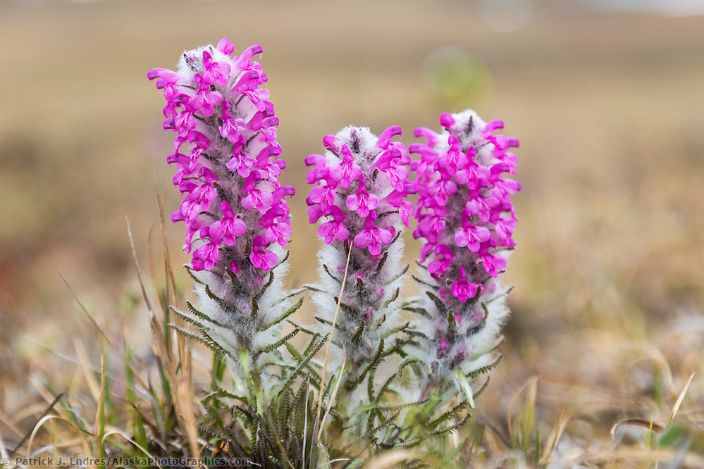 Wooly lousewort wildflowers on the tundra in the continental divide of the Brooks Range, Gates of the Arctic National Park, Alaska. (Patrick J Endres / AlaskaPhotoGraphics.com)