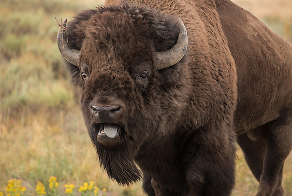 Bellowing and pawing the earth, this large bison bull prepares himself for battle during the summer rut.  During this time of year, the largest of the bulls go head to head to determine who will sire next year's calves. (Sandy Sisti)