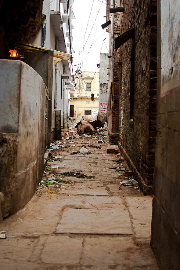 Narrow street, entrance to a hotel, where another of India's sacred cows dwells in the garbage that in many instances end up killing this holly animals. (Martin Herrera)
