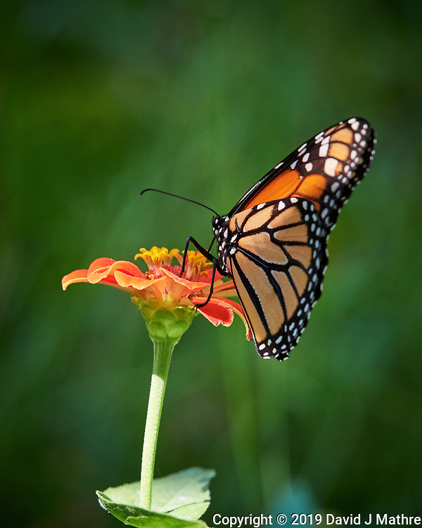 Monarch butterfly Zinnia flower. Image taken with a Nikon D5 camera and 200-500 mm f/5.6 VR lens (DAVID J MATHRE)