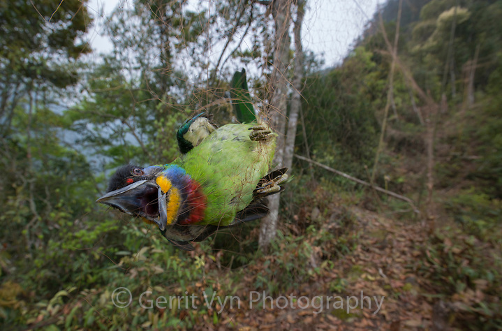 Chinese Barbet (Megalaima faber) caught in a poachers mist net. Guangxi, China. March. (Gerrit Vyn)