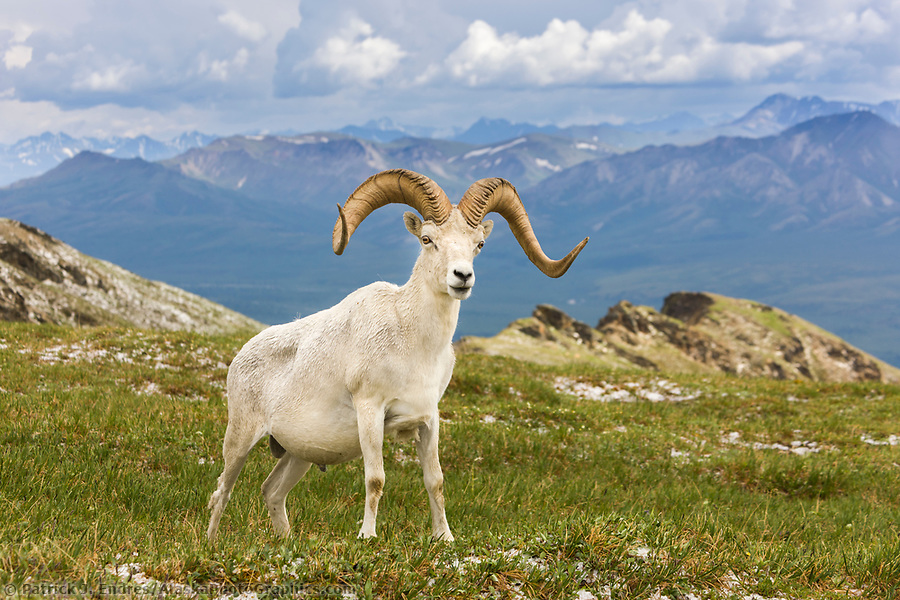 Dall sheep ram with full curl on a mountain ridge in Denali National Park, Interior, Alaska. (Patrick J. Endres / AlaskaPhotoGraphics.com)