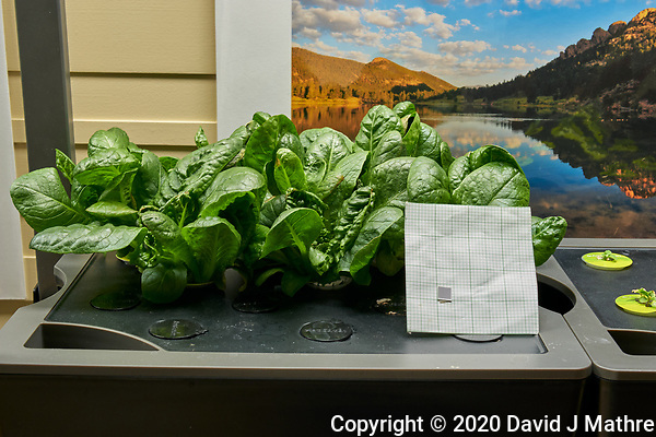 AeroGarden Farm 10-Left. Positions 01-06 Romaine Lettuce at 28 days. Image taken with a Leica TL-2 camera and 35 mm f/1.4 lens (ISO 400, 35 mm, f/8, 1/30 sec). (DAVID J MATHRE)